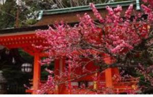 京都の北野天満宮 梅 見頃