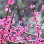 京都 梅の見頃2018!京都に春を告げる梅だより