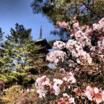仁和寺の桜の見頃2018 遅咲きの御室桜