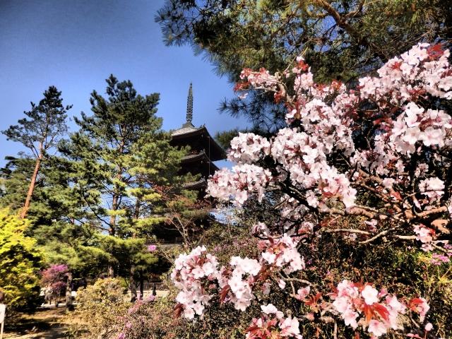 仁和寺 桜の見頃