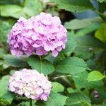 紫陽花は庭に植えると縁起が悪いと言われているのはなぜ?