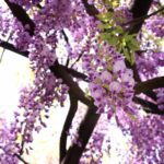 平等院の藤の花の見頃とは?満開になるGWが狙い目だよ!