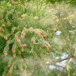 妊婦さんの花粉症の対策におすすめ!古代から伝わる植物療法